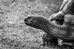 Giant Tortoise B&W (_John Hikins) Tags: nikon d5500 devon paignton paigntonzoo zoo sigma 150600mm 150600c 150600 giant tortoise animal reptile bw black blackwhite blackandwhite white monochrome