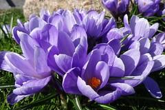 Krokus (Gartenzauber) Tags: ngc npc floralfantasy doublefantasy coth alittlebeauty coth5 saariysqualitypictures