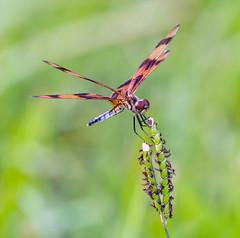 Halloween Pennant Dragonfly (aeschylus18917) Tags: danielruyle aeschylus18917 danruyle druyle ダニエルルール japan 日本 america florida insect odonata 200500mm dragonfly libellulidae celithemiseponina halloweenpennant