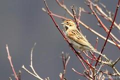 Bruant des roseaux - Emberiza schoeniclus (aiglonne) Tags: bruant des roseaux emberiza schoeniclus suisse grangettes wild birds oiseaux aves wildlive aquatique