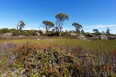 20170228-01-Pond full of reeds (Roger T Wong) Tags: australia centralplateauconservationarea greatpinetier sel1635z sony1635 sonya7ii sonyalpha7ii sonyfe1635mmf4zaosscarlzeissvariotessart sonyilce7m2 tasmania wha worldheritagearea bushwalk camp centralhighlands hike scoparia treesmarsh trektramp walk