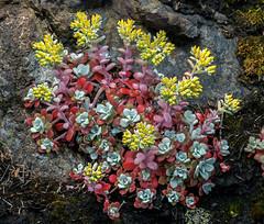 Sedum spathulifolium (wanderflechten) Tags: sedumspathulifolium