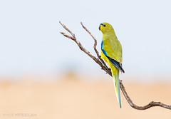 Elegant Parrot (chrissteeles) Tags: elegant elegantparrot parrot bird birding roseworthy pengilly southaustralia sa