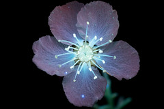 Ornamental Pear (C. Burrows) Tags: ornamentalpear pear flowers blossom luminous uvivf
