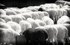 OVEJA QUE BALA....BOCADO QUE PIERDE (ROGE gonzalez ALIAGA) Tags: ganado patron orden animales nikond5000