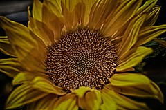 HDR Sunflower (Barry Wallis) Tags: california usa flower yellow sunflower carlsbad barrywallis tracysgarden