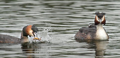 Great-crested grebe catches newt (Czech Conroy) Tags: birds canon newt grebe wetland greatcrestedgrebe