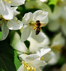 (where birds always sing) Tags: white flower macro beautiful insect spring nikon sweden bee uppsala 60mm nikon300