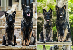 KastleZiva (falon_167) Tags: dog dutch shepherd german gsd germanshepherddog dutchshepherd ziva kastle dutchie