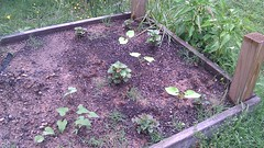 Raised Bed, Sweet Potatoes and Green Beans (gtg287y) Tags: sweetpotato greenbean raisedbed