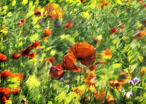 Today near my home: Wind, rapeseed and poppies.