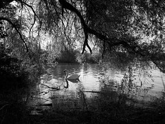 outside (vaquey) Tags: monochrome germany deutschland swan 28mm karlsruhe schwan ricohgr badenwrttemberg vaquey speziatode vaqueyvisions pentaxricohimaging 2013vaquey