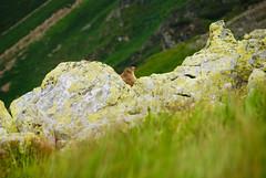 Tatra Mountains - Marmot on the slope of Siwy Zwornik (Karol Majewski) Tags: wild mountains grass animal rock nationalpark rocks view meadow marmot gry tatry tatra zwierz parknarodowy wistak dzikie