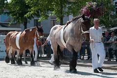 DSC_2505 (Ton van der Weerden) Tags: horses horse dutch de cheval belgian nederlands belges draft chevaux belgisch trait ijzendijke trekpaard trekpaarden catovandenhoekericavanthofterhasselt