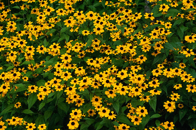 Stillwater Marsh - Brown eyed Susan - August 2013