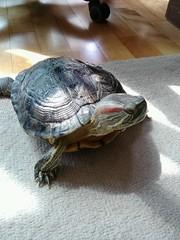 IMG_1823 (arakalada) Tags: turtle   redearturle