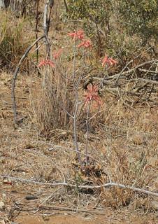 Aloe greatheadii var. davyana - Near Pilanesburg Nature Reserve, Northwest Province