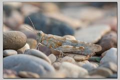 Blauflügelige Sandschrecke (die_Nicky79) Tags: insekten kurzfühlerschrecken feldheuschrecken sphingonotuscaerulans starkgefährdet blauflügeligesandschrecke ödlandschrecken schutzstatus rotenlistekategorie2