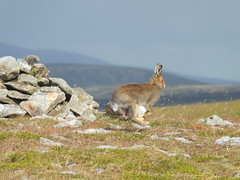 Levitating Hare (stuant63) Tags: scotland hare angus driesh glendoll whitehare lepustimidus bluehare stuant63 snowhare stuartanthony tundrahare alpinehare variablehare quicklittlebeggar