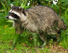 Raccoon (monzaevo) Tags: park vancouver stanley stanleypark raccoon