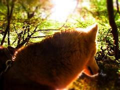 Hopi (chicitoloco) Tags: dog husky perro hund hopi chicitoloco