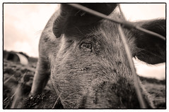 Oxford & Sandy Black pig (FreeRange Pictures) Tags: blackandwhite bw white black pig oxfordsandy