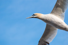 Gannet Flyby (trekok, enjoying) Tags: island elements qc bonaventure gannets 071 91913