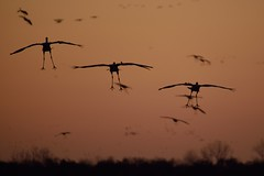 Sandhill crane landing at Jasper Pulaski FWA [9143] (cl.lin) Tags: sunset bird nature birds nikon midwest wildlife birding sigma indiana cranes migration sandhill sandhillcranes d600 jasperpulaski