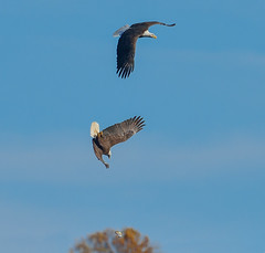 Eagles in a dive (snooker2009) Tags: blue winter lake fish bird fall nature water birds sunrise outdoors fishing eagle wildlife flight bald raptor getty migration d800 dailynaturetnc13