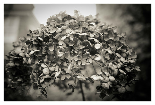 A dead hydrangea is as intricate and lovely as one in bloom