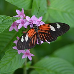 Heliconius melpomene sips nectar from on pink Pentas (jungle mama) Tags: pink ngc madeira pentas heliconiusmelpomene fairchildgarden fairchildtropicalbotanicgarden supershot tropicalbutterflies coth5 wingsofthetropics
