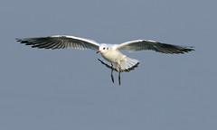 black-headed gull landing (neilfif11) Tags: birds hongkong gulls nsw nikond800 nikon5004afsvrlens