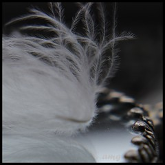 White Feather. (mcginley2012) Tags: white macro reflection mirror soft feather barb whitefeather macromondays canoneos600d