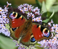 Peacock Butterfly (X4Jon) Tags: nature fauna flora european butterflies insects peacock naturalhistory british