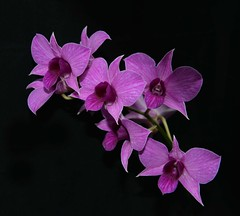Orchid Haiku (Don Iannone) Tags: flowers poetry orchids haiku orchidshow clevelandbotanicalgardens imagepoetry