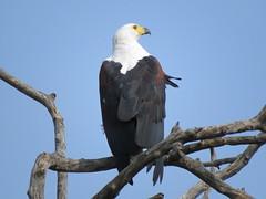 IMG_3874 (Marko_J_Aho) Tags: bird southafrica 5star kruger 4star africanfisheagle afrikka2013 lowersabieskukuzaroad