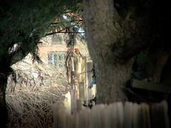 Bird Tree Fence (pogmomadra) Tags: tree bird robin fence finepix friday fenced fencedin hff fench hs30 fencefriday happyfencefriday fenchfriday fencedfriday happyfencedfriday happyfenchfriday hs30exr fujifinepixhs30exr
