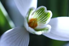an 23-23 febr.2014 div. 092 (annetje2009) Tags: spring lente wit sneeuwklokje voorjaar macromarvels