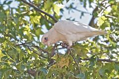 Little Corella feeding at road siteIMG_8986 (copsychus) Tags: birds australia canberra act tuggeranong 2014