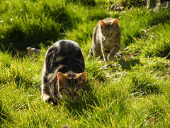 behind you! (rospix) Tags: uk nature grass animal wales cat march kitten play tabby kittens 2014 rospix