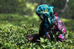 tea-picking-2 () Tags: china wuxi jiangsu chinesetea  teapicking