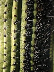 organ pipe cactus (ophis) Tags: cactaceae desertbotanicalgarden stenocereusthurberi organpipecactus stenocereus pitayadulce