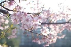 Cerasus lannesiana Kawazu-zakura (Masaoki Hirai) Tags: prunus cerasus rosaceae planart1450zf