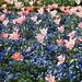 Pink, white and orange-pink tulips, Sunken Garden flower beds, Filoli P3281129
