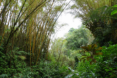 Bamboo in the rainforest (karebear_stare) Tags: park trees green nature leaves hawaii bamboo bigisland hilo akakafallsstatepark