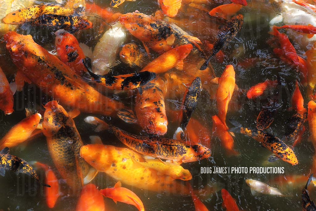 The world 39 s best photos of goldfish and hobby flickr for Golden ornamental pond fish crossword