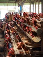 The real housewives... (Gus NYC) Tags: bali chicken indonesia farm chick huevos pollos granja