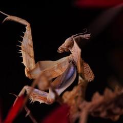Idolomantis diabolica, 3rd instar, 1.25-inch (_papilio) Tags: macro canon mantis invertebrate canonmpe65mm papilio mantid arthropod 6d diabolica idolomantis