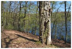 Schwarzer See (czorneboh) Tags: tree nature forest germany landscape dead deutschland woods rgen wald baum beech buche granitz czornebohphoto