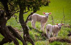 A little drive up the Yorkshire Moors (archangel 12) Tags: wool sheep lamb yorkshiremoors danby panasoniclumixgvario45200mmf4056 olympusmzuikodigitaled1250mmf3563ez olympusomdem10